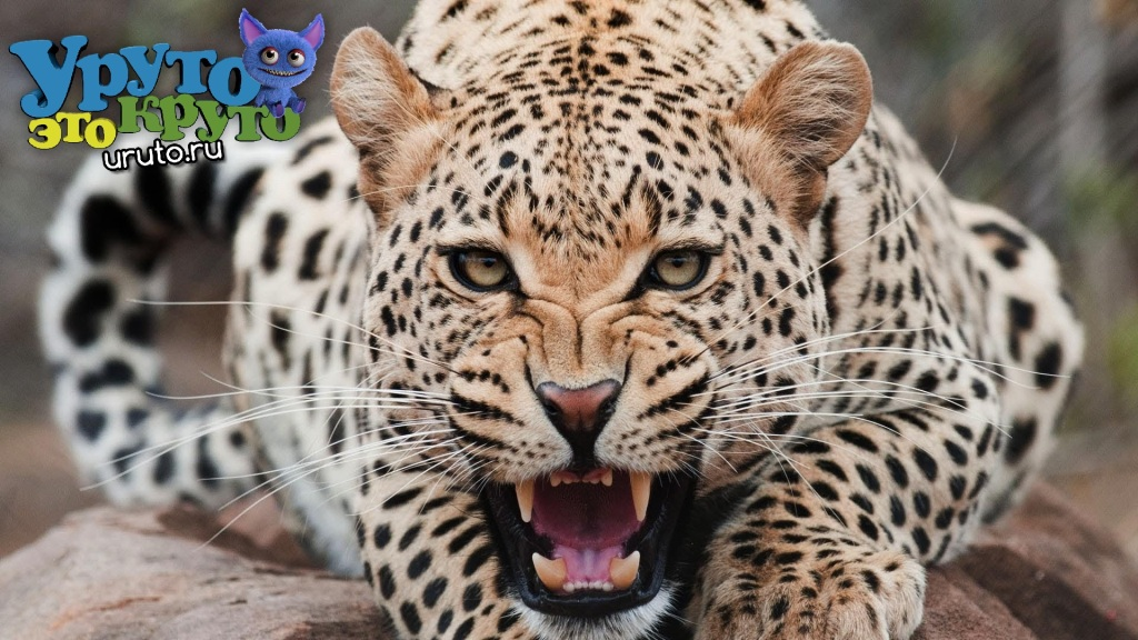Animals Wild cats Angry jaguar bared his teeth 099212