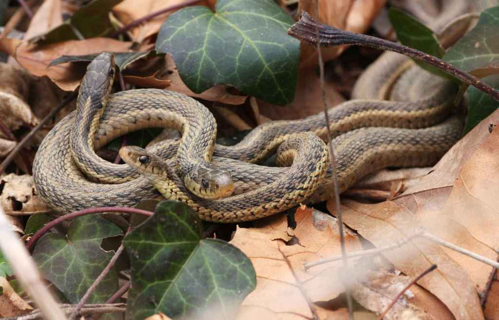garter snakes reptiles thamnophis sirtalis
