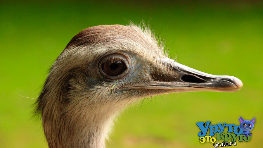 nature bird animal wildlife beak macro ostrich fauna close up emu vertebrate ratite rhea bird flightless bird animal photography 1170309